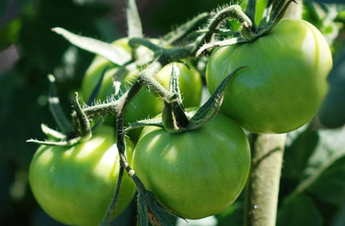 Vee Jay's Kalfresh Tomatoes