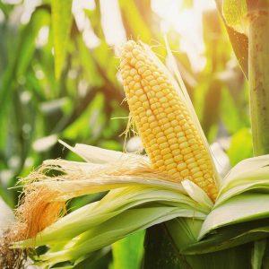 vjk-corn